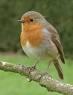 Bird The Robin
